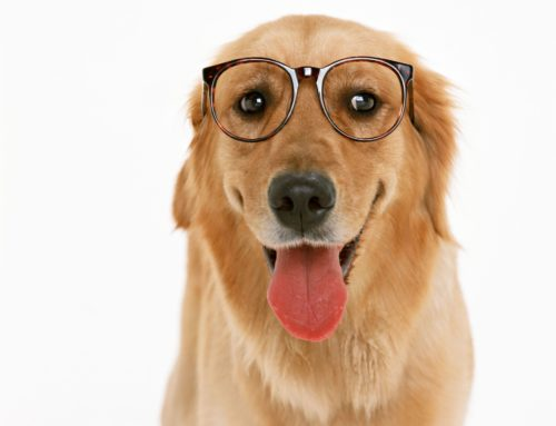 Guia completo para cuidar de cães idosos